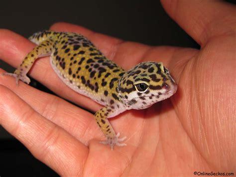 best reptile pets for handling beginner pet lizards