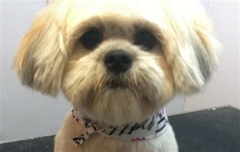 how to cut my shih tzu hair how should i get my shih tzu s hair cut
