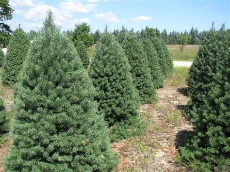 scottish pine trees pictures to pin on pinterest pinsdaddy