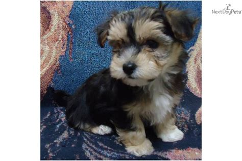 morkie puppies for sale in indiana morkie yorktese puppy for sale near muncie indiana 8ae54472 3151