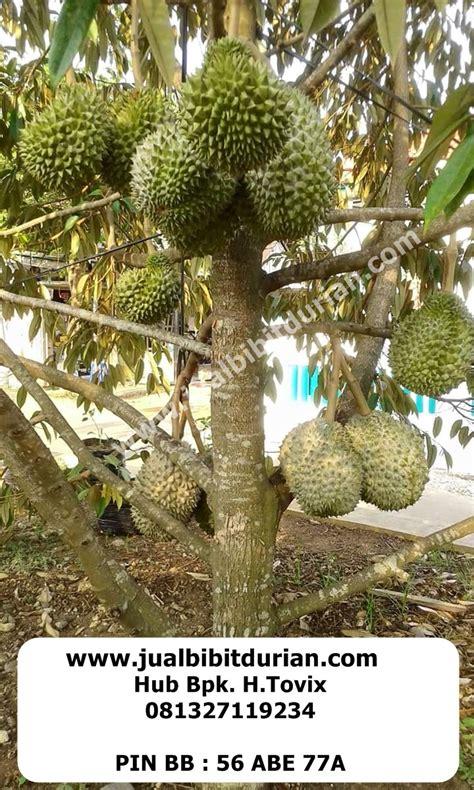 Bibit Durian Musang King Bersertifikat bibit durian h tovix bibit durian montong bibit durian