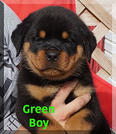 owner trained service program rottweiler breeders rottweiler puppies for sale german rottweilers for sale