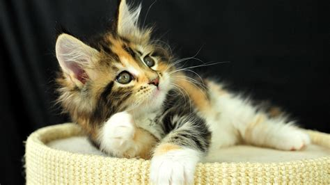 kitten wallpaper for pc fluffy kitten wallpaper 1287721