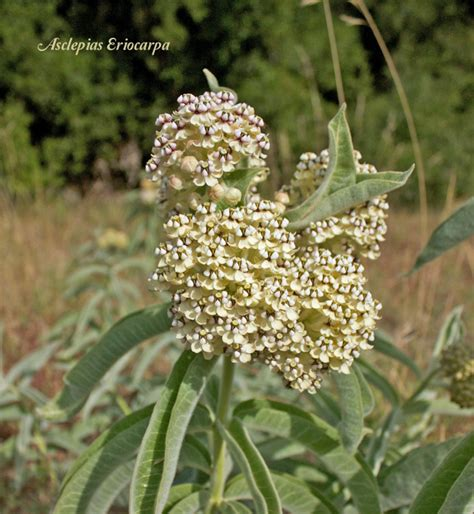 where to buy herb plants find milkweed plants and milkweed seeds for monarchs
