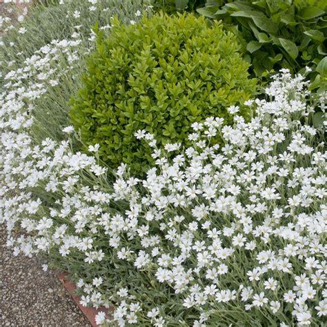 Plantes Et Jardins by Cerastium Tomentosum Yo Yo Plantes Et Jardins