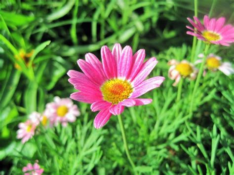 pink daisy like flowers pictures to pin on pinterest