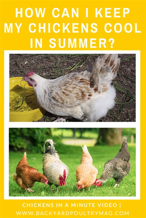 how to keep chickens cool in summer chickens in a minute