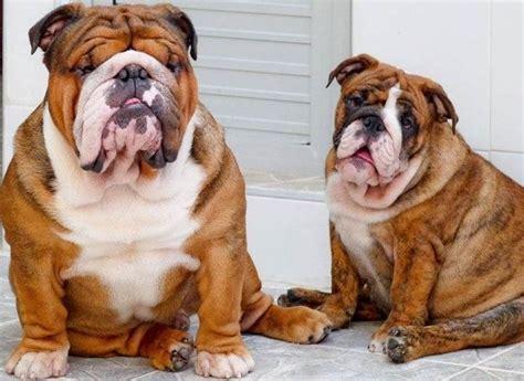 alimentazione bulldog inglese cucciolo bulldog inglese in canile canile compre prendere un