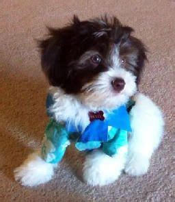 puppies for sale in santa best 25 havanese puppies for sale ideas only on maltese mix teddy