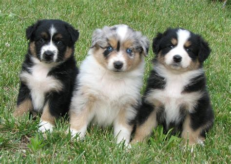 australian shepherd colors faithwalk aussies color genetics