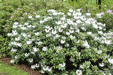 rhododendron the site gardener - Flowering Shrubs Zone 6