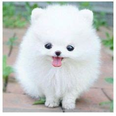 teacup pomeranian adults for sale the gallery for gt teacup dogs
