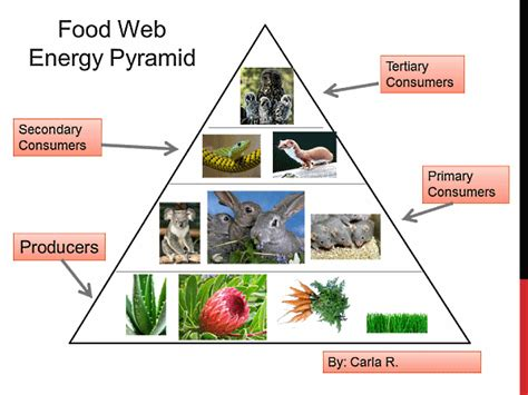 diagram of the food pyramid energy pyramid diagram search food chain