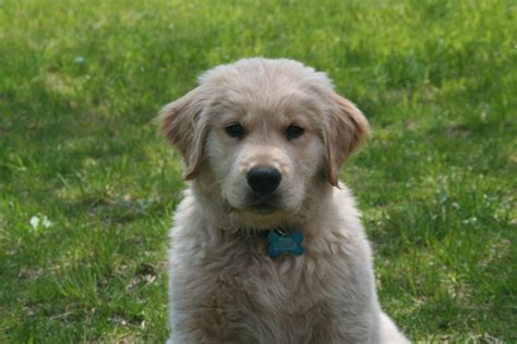 a golden retriever puppy not to bite biting golden puppy golden retrievers golden retriever forums