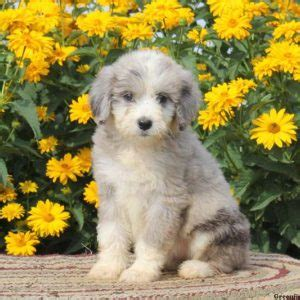 aussiedoodle puppies for sale pa aussiedoodle puppies for sale in in pa