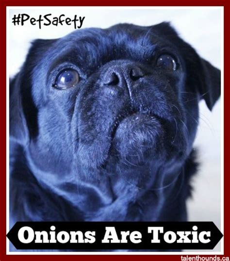 are onions poisonous to dogs can my eat thanksgiving food like turkey and pumpkin talent hounds