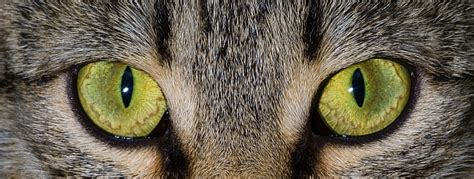 Softlens Cats Eye Soflens Cats Eye a look at cat vision pet care facts