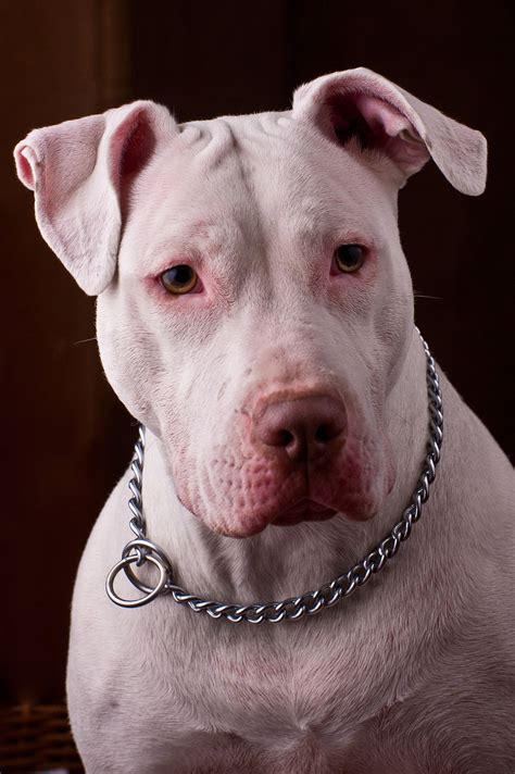 pitbull puppies illinois pit bull wikiquote