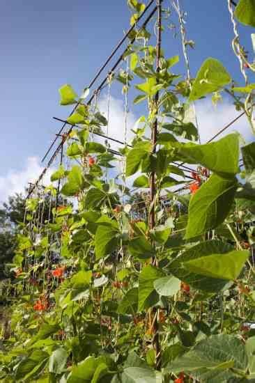 grow beans organic gardening mother earth news