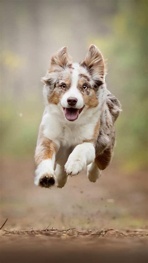 australian shepherd running  pure  ultra hd