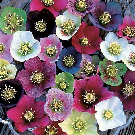 helleborus royal heritage strain  jackson perkins