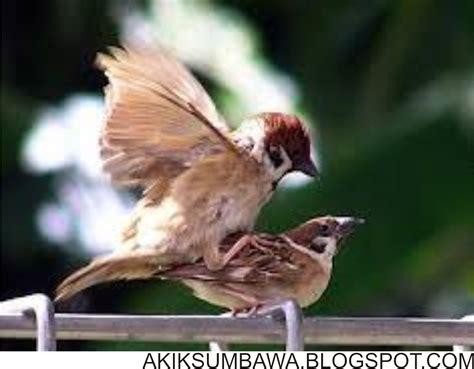 Akik Motif Cantik panca warna cantik motif burung dari sumbawa jual akik