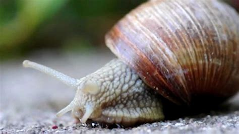 terrestrial snail pictures about animals true facts about the land snail doovi