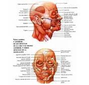 El Sistema Muscular P&225gina 2  Monografiascom