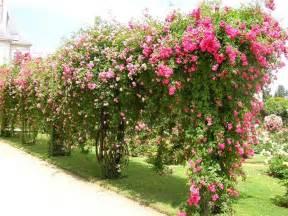Плетистые розы цветение фото