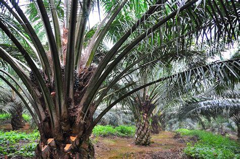 Benih Pepaya Emas pokok sawit tanaman emas malaysia mpob f1