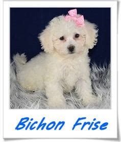 bichon puppies for sale in pa puppies for sale in pa ridgewood s puppy adoptions