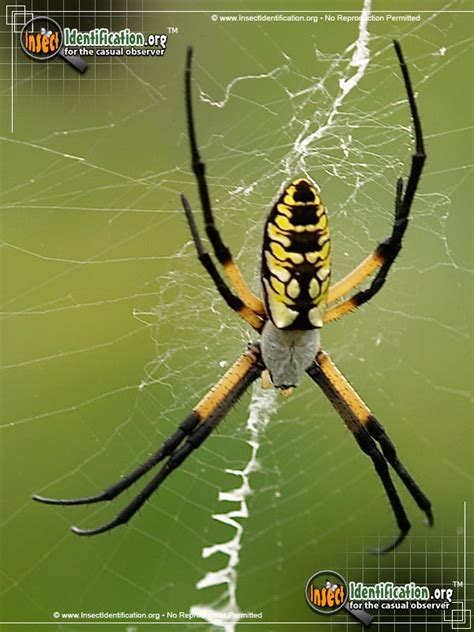 black and yellow garden spider the ubiquitous black and