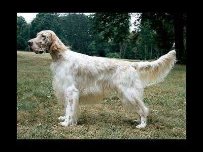 english setter working dog find out everything about english setter working dog