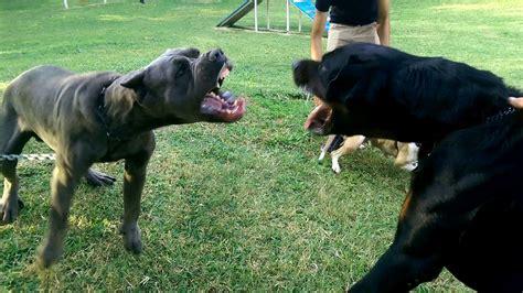 corso vs rottweiler corso vs rottweiler vs american pittbull