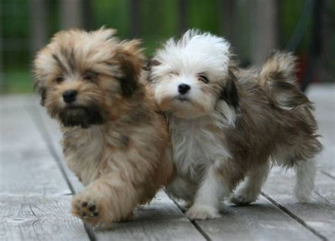Do Havanese Puppies Shed havanese dogs that don t shed and are dogs breeds that dont shed havanese pups