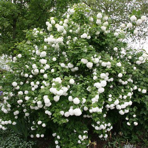 House Gifts by Buy Snowball Tree Syn Sterile Viburnum Opulus Roseum