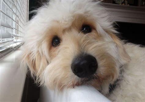 cortar el pelo a los perros como cortarle el pelo a un perro imagui