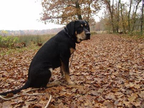 can golden retrievers be black black and golden retriever labrador cross history