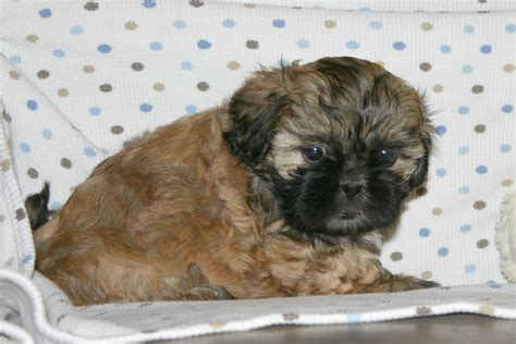 shih tzu breeders in va growing puppies virginia schnoodle breeder