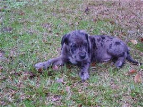 catahoula leopard puppies for sale catahoula leopard puppies in south carolina