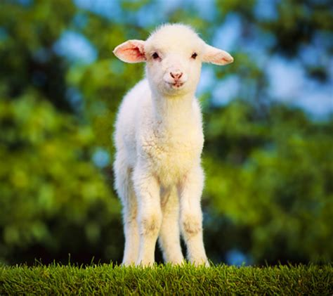 mary's little lamb sheep & animals background wallpapers