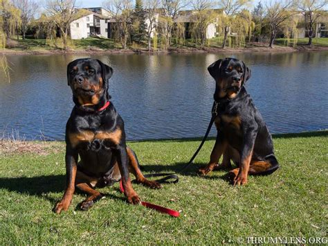 american rottweilers rottweiler x american bulldog puppies breeds picture