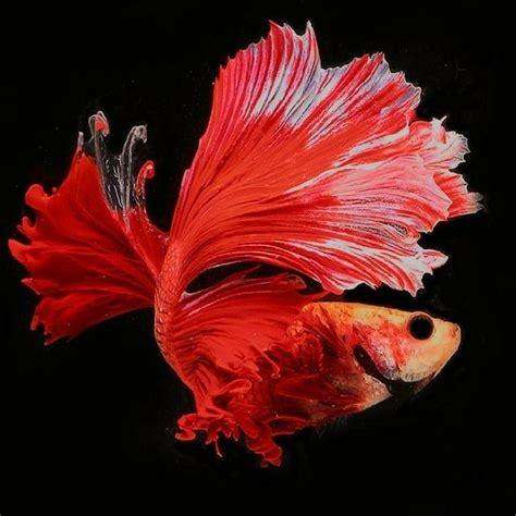 Makanan Ikan Hias Layar wallpaper ikan cupang hias ikancupangku medium
