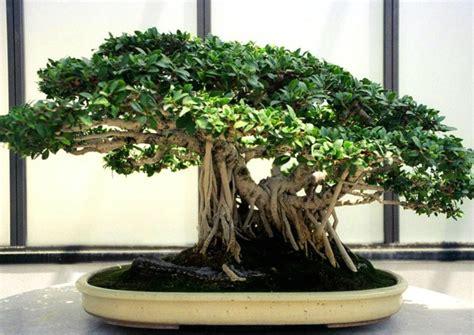 Arrosage Ficus Ginseng by Ficus Bonsai Entretien