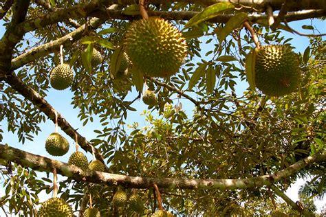 malang merdekacom berburu  memetik durian  wagir