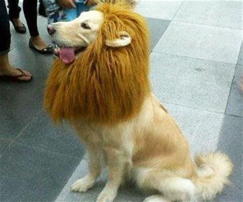 golden retriever wig pet wig like you park and jungles