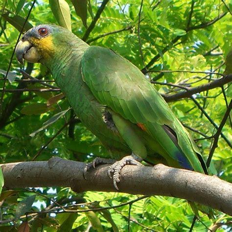 amazon parrot amazon parrot wikipedia