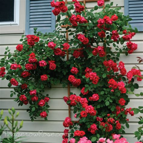 Climbing Rose Plants For Sale - types of roses