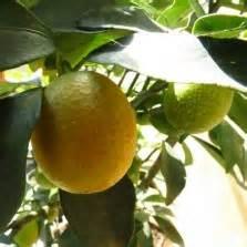 Tanaman Jeruk Sunkist 60cm tanaman jeruk lemon lokal bibitbunga