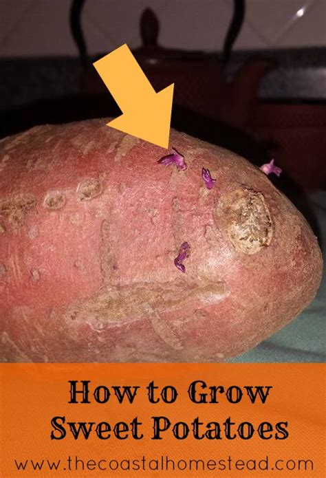 how to grow sweet potatoes in 5 easy steps the coastal